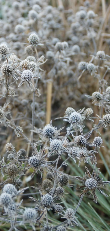 frosted-eryngium-512x768